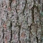 Pine tree bark texture — Stock Photo #3528176