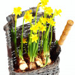 Royalty-Free Stock Photo: Yellow narcissuses in wattled basket ove