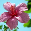 Stock Photo: Tropical flowers of Borneo