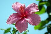Flores tropicales de borneo — Foto de Stock