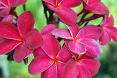 Tropical flowers of Borneo — Stock Photo