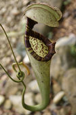 Plantas carnívoras de borneo highlands — Foto de Stock