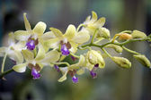 Wild Orchid. — Stock Photo