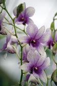 Orquídea salvaje. — Foto de Stock