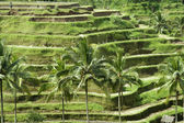 Bali. Rice fields grown up by terraces. — Stock Photo