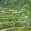 Stock Photo: Bali. Rice fields grown up by terraces.