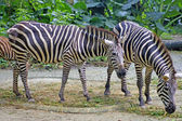 Zebra on the nature. — Stock Photo