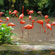 Pink flamingos on lake in rainorest. — Stock Photo