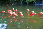 Pink flamingos on lake with waterfalls in rainorest. — Foto de Stock
