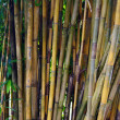 Stock Photo: Bamboo thickets. Kuching. Borneo