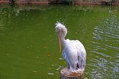 Pélicans sont reposer sur le lac. — Photo
