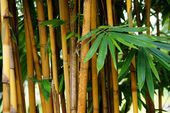 Matorrales de bambú. kuching. borneo — Foto de Stock