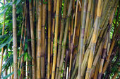 Bamboo thickets. Kuching. Borneo — Stock Photo