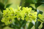 Mariposas de paraíso. orquídeas de borneo. — Foto de Stock
