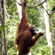 Orangutans. Borneo - Stock Photo