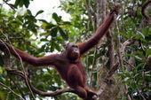 Orangutany. Borneo — Zdjęcie stockowe