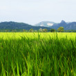 Rice fields in a valley among mountains on island Langkavi. — Stock Photo