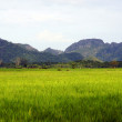 Rice fields in a valley among mountains on island Langkavi. — Stock Photo #4608793