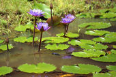 Lotus. Water lily of Borneo. — Stock Photo