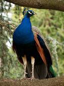 красивый синий павлин — Стоковое фото