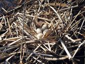 Duck eggs — Stock Photo