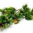 Spruce branch — Stock Photo #2841395