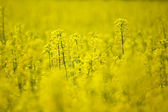 Rape field, selective focus — Stock Photo