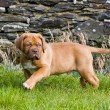 Dogue de bordeaux puppy — Stock Photo #3607626