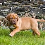 Dogue de bordeaux puppy — Stock Photo