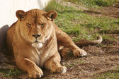 Lion female — Stock Photo