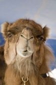 Close-up of a dromedary. — Stock Photo