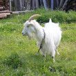 The goat on a green meadow — Stock Photo