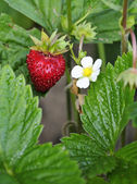 Wild strawberry with flower — Stock Photo