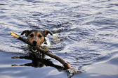 Jack Russel in water — Stock Photo