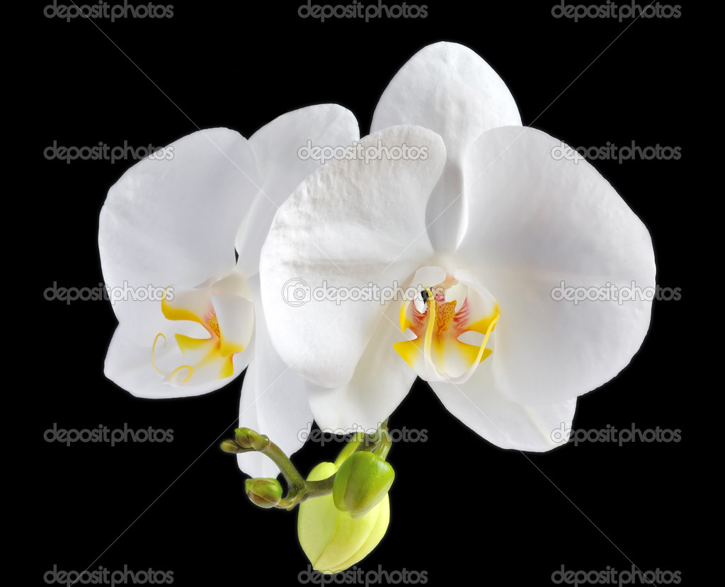 White orchid flower on black background — Stock Photo #3526715
