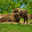 Royalty-Free Stock Photo: Buffalos