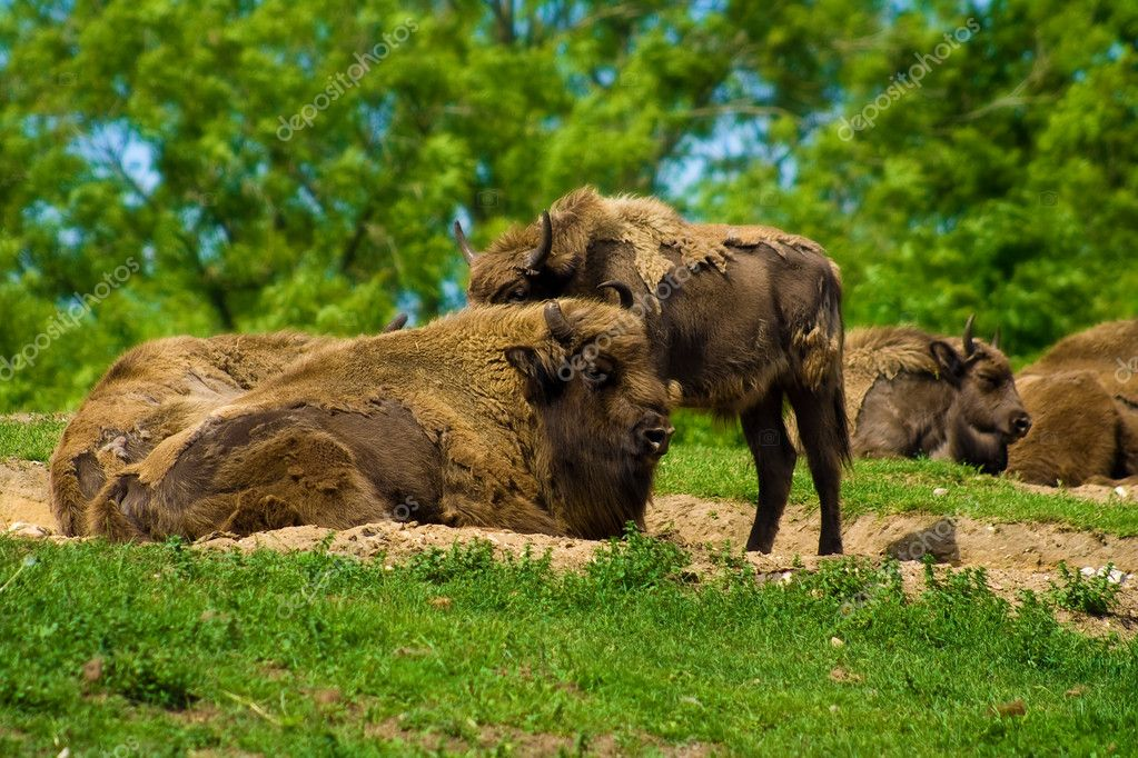 A herd of buffalos relaxing in the sunshine — Stock Photo #3350139
