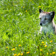 Stock Photo: Arctic Fox 01