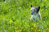 Arctic Fox 01 — Stock Photo