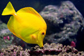 YellowTang01 — Stock Photo