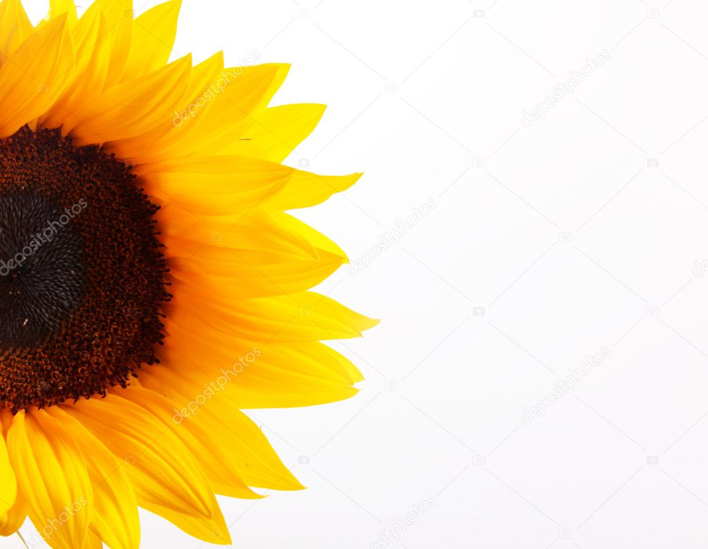 Sunflower over white background. Space to insert text or design — Stock Photo #2953497
