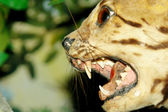 Feline animal with attack expresion. head closeup — Stock Photo