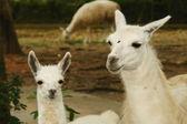 Llamas — Stock Photo