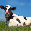 Attentive cow — Foto Stock