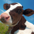 Attentive cow — Foto de Stock