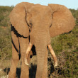 Stock Photo: AfricElephant Male