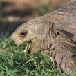 Leopard Tortoise Eating — Stock Photo