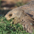 Stock Photo: Leopard Tortoise Eating