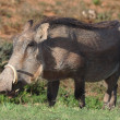 Warthog — Stock Photo