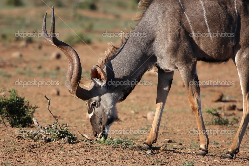 Male Kudu antelope with beautiful spiralled horns eating plant shoots — Stock Photo #2800910